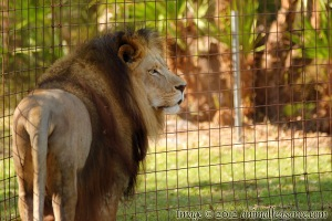 Cameron the lion at Big Cat Rescue, Tampa, FL.