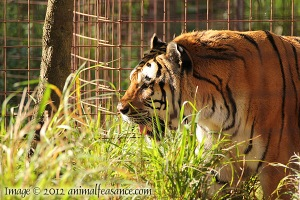 Alex the tiger at Big Cat Rescue in Tampa, FL.