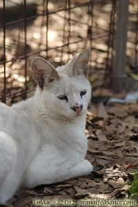 Tonga, a rare white serval, at Big Cat Rescue, Tampa, FL.