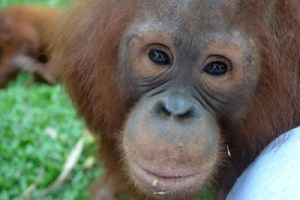 Orangutan.  Photo courtesy Borneo Orangutan Survival Foundation.