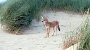 Nehalem Bay State Park coyote