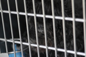 Cairn terrier in shelter cage