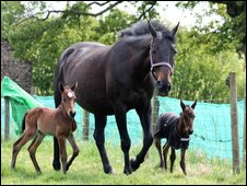 Premature foal twins return home