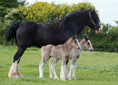 Twin Shire Foals in Wales