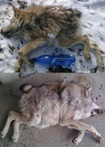 Deformed+wolf.+A+wolf+taken+down+by+hunters+in+Russia_7e8c75_4766173