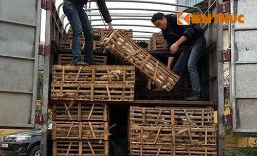Cages of living cats smuggled from China are loaded off a truck in Hanoi on January 27, 2015. Photo credit: Kien Thuc