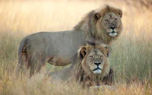 Cecil (lying down) and Jericho, two named lions in Hwange National Park in Zimbabwe.  Photo: Brent Stapelkamp